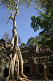 Tree growing at Ta Phrom temple — Stock Photo