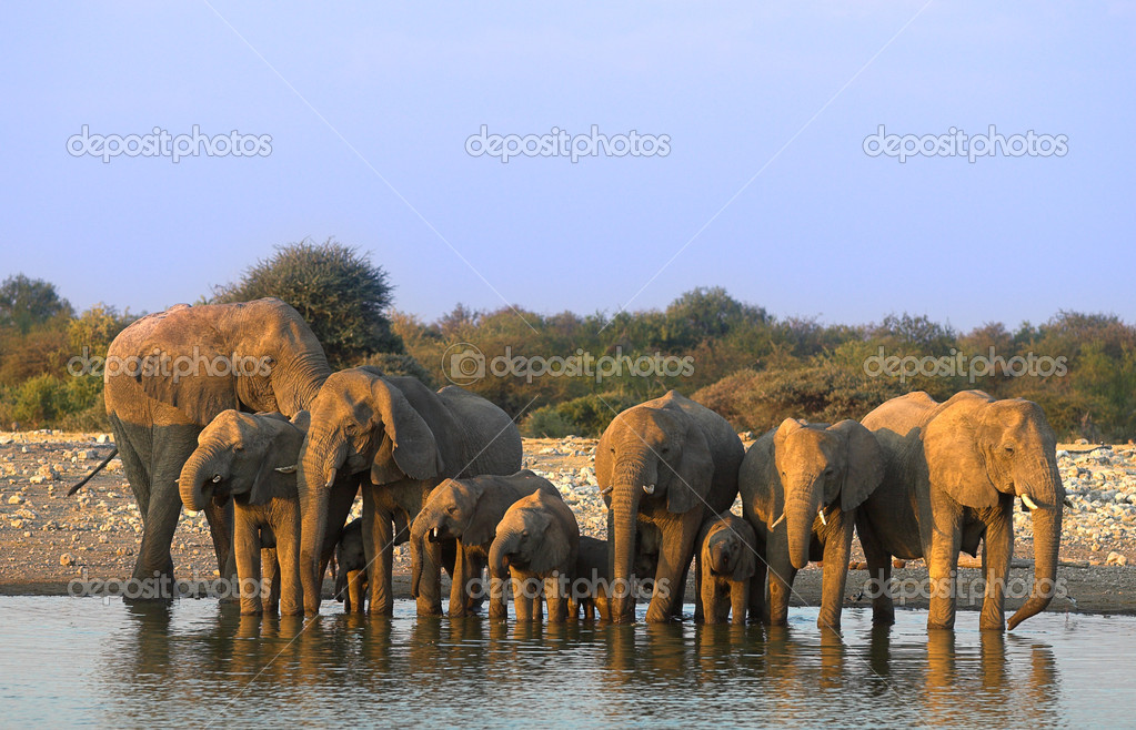 Group of elephants - the shot was taken in Etosha Park, Namibia. — Stock Photo #8998707