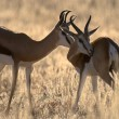 Stock Photo: Two springbucks in evening sun