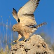 Lesser kestrel landing on rock - Stock Photo