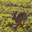 running hare — Stock Photo