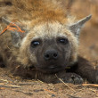 Portrait of a hyena — Stock Photo