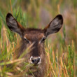 Portrait of a waterbuck — Stock Photo