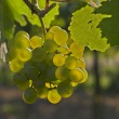 Wine grapes — Stock Photo #9073468