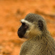 Portrait of a vervet monkey - Stock Photo