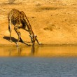 Drinking giraffe — Stock Photo