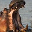 Portrait of a hippopotamus - Stockfoto