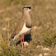 Portrait of a plover - Stock Photo