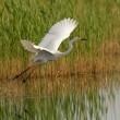 Great egret — Stock Photo #9073640