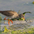 Portrait of a redshank - Stock Photo