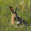 Hare in a field — Stock Photo #9073879