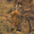 Stock Photo: Hare in field