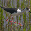 Avocet - Stock Photo