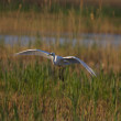 Great egret — Stock Photo