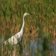 Great egret — Stock Photo #9073905