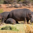 Hippo family — Stock Photo #9073984