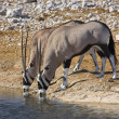 Stock Photo: Pair of oryx drinking.