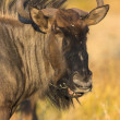 Portrait of a gnu — Stock Photo
