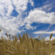Field against a blue sky — Stock Photo