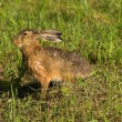 Running hare — Stock Photo #9074045