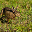 Running hare — Stock Photo #9074047