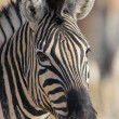 Portrait of a zebra - Stock Photo