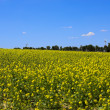 Rape field — Stock Photo #9074091