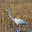 Portrait of a great white egret. — Stock Photo