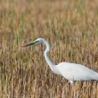 Portrait of a great white egret. — Stock Photo #9074741