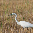 Stock Photo: Portrait of a great white egret.