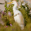 Cattle egret in breeding plumage — Foto de Stock