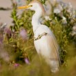 Royalty-Free Stock Photo: Cattle egret in breeding plumage