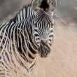 Portrait of a wild Zebra in southern Africa. — Stock Photo