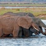 Group of wild elephants at a waterhole. — Stock Photo