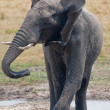 Stock Photo: Drinking wild elephant at waterhole.