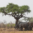 Group of wild elephants in southern Africa. - Stock Photo