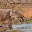 Drinking wild elephant at a waterhole. — Stock Photo