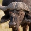 Stock Photo: Portrait of wild africbuffalo in souther Africa.