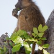 Portrait of wild baboon in southern Africa. — Stock Photo #9074939