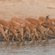 Drinking impalas standing at a waterhole. - Photo
