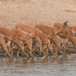 Drinking impalas standing at a waterhole. - Stock Photo