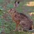 Stock Photo: Portrait of sitting brown hare