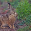 Portrait of a sitting brown hare - Stock Photo
