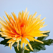 Macro shot of a chrysanthemum against a blue background - Stock Photo