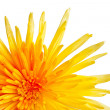Extreme macro shot of a chrysanthemum against a white background — Stock Photo