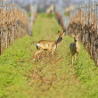 Portrait of roe deer in a wineyard. - Stock Photo