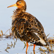Stock Photo: Portrait of ruff