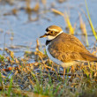 Stock Photo: Portrait of little ringed plover