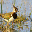 Stock Photo: Portrait of lapwing