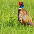 Stock Photo: Portrait of male pheasant